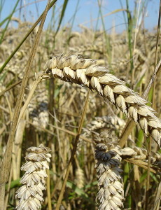 800px-Wheat_close-up