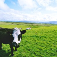 irish_cow.lrg