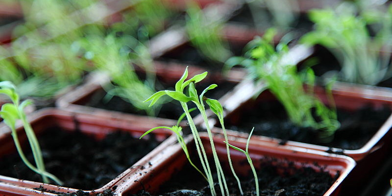 Free_Organic_Green_Spring_Plant_Seedlings_in_Natural_Window_Light_Creative_Commons_(8658017263)